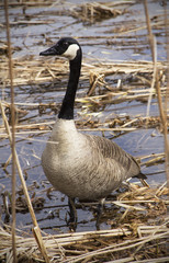 Canada goose standing in a swamp in New England.