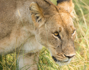 Lioness hunting in the tall grass, Tanzania