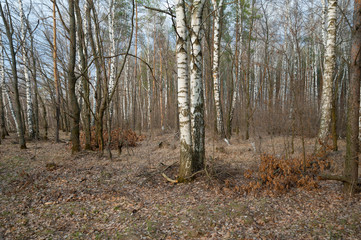 Birch trees in spring fores