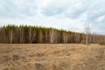 Spring landscape. Forest, birch, dry grass.