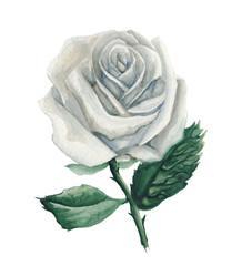 Watercolor white rose