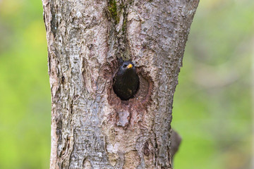 Starling in a nesting hole
