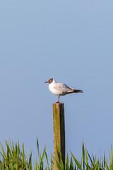 Black-headed gull sit on a pole