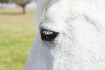 Eye photo of a white horse