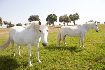 Two white horses in the meadow