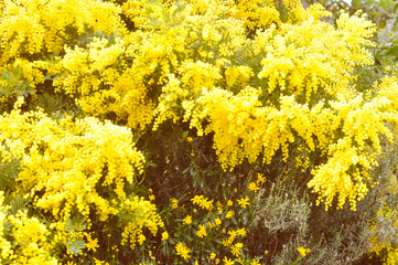 Retro look Mimose flower