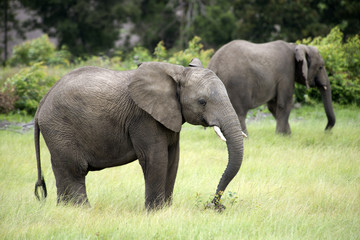 Young wild African elephants feeding  South Africa