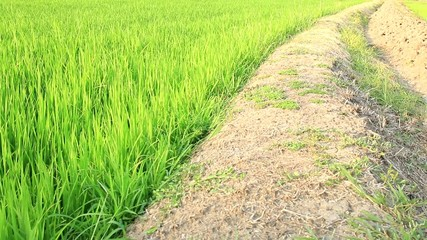 rice field before produce grains at edge of channel