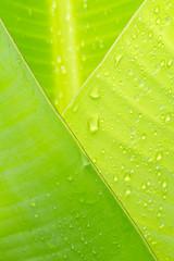 jeune feuille de bananier