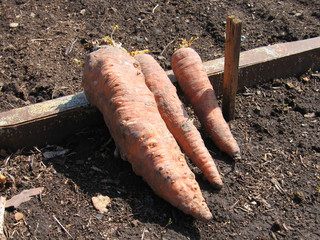 Old carrots. The kitchen garden.