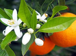 Photo : Valencian orange and orange blossoms