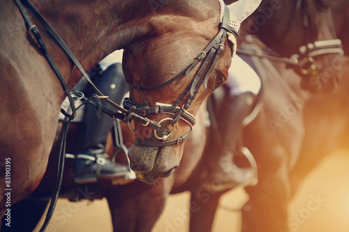 Sports brown horses before competitions.