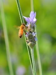 ブルーベリーの蜜を吸う蜜蜂