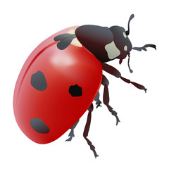 Hand drawn vector illustration of a Ladybug. Realistic style.