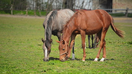 Herd of Young Horses Graze on the Farm Ranch