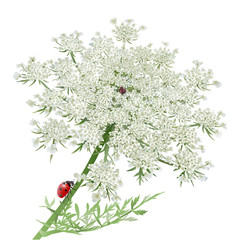 Ladybug on Queen Anne's Lace.White background, realistic style.