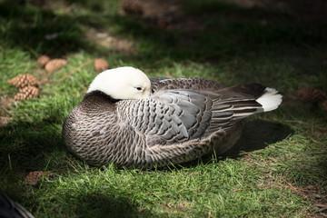 schlafende Ente in einem Sonnenstrahl