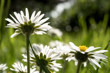 Gänseblümchen in der Sonne