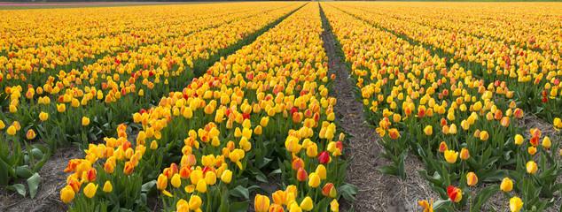 Tulip cultivation