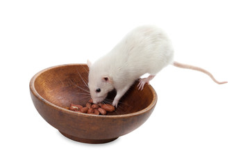 White rat eating peanuts from wooden plate