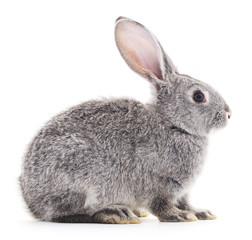 Baby rabbit.