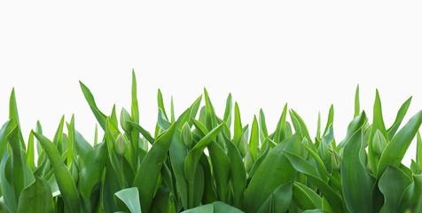 изолированые зеленые тюльпаны