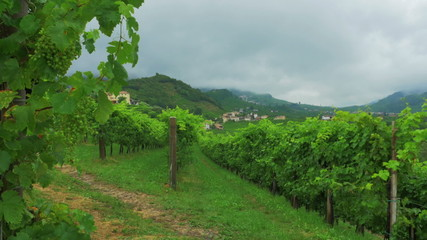 A vineyard in early summer. Treviso Prosecco area in Italy