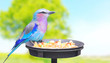 The Glossy-starling tropical bird on bird table.