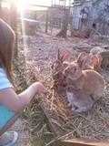 bambina che da cibo ai coniglietti