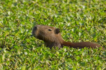 Wild Capybara Munching on Water Hyacinth Leaves