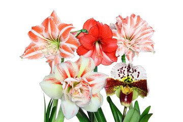 Closeup of a Red and White Striped Amaryllis