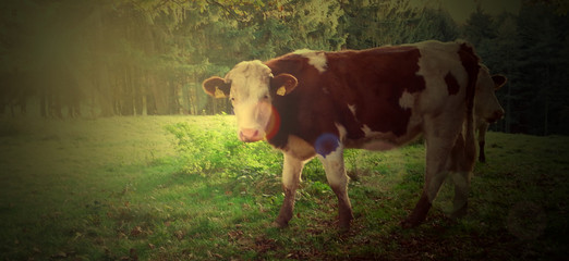 Surreales Portrait einer Kuh in der Eifel
