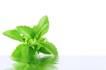 stevia herb with water reflection in pure white background