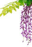 Japanese wild wisteria isolated