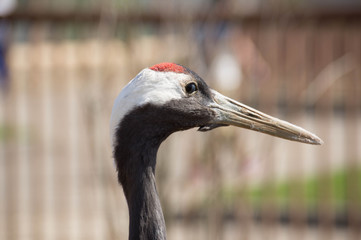 Portrait of the Japanese crane close up