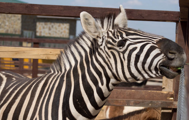 Zebra in a zoo close up