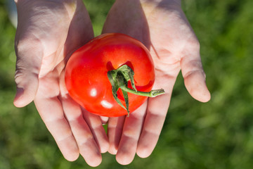 Child holding tomatoes in hands