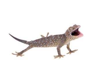Tokay Gecko isolated on white background