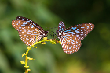 Two Blue Tiger drinking on plant