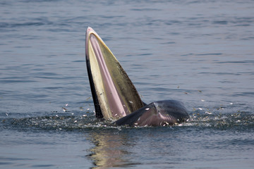 The Bryde's Whale.