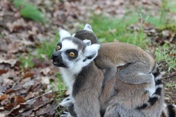 Maman et bébé lémuriens