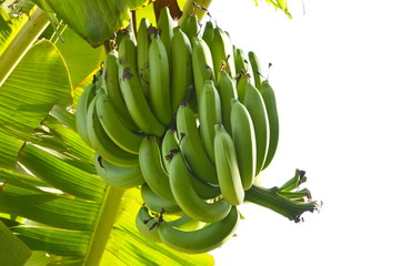 banana on the branch