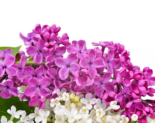 Purple and white lilac flowers on white background