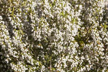Brezo blanco, arbóreo, en flor. Erica arborea.