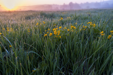Green grass and yellow flowers in the morning
