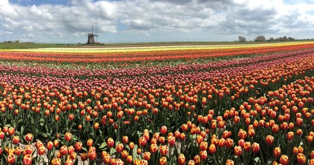 Tulip cultivation with a wind mill