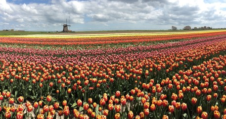 Tulip field, Holland