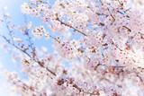Fototapety 青空と桜
