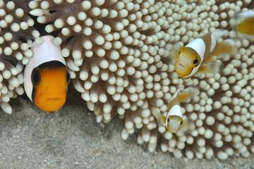 トウアカクマノミの親子/撮影機材のレンズやストロボ、水中ライト等を初めて見たらしく親子で驚いている表情が表れている。