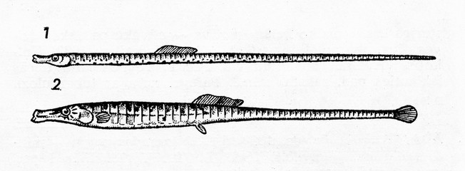 Straightnose pipefish (1) and broadnosed pipefish (2)